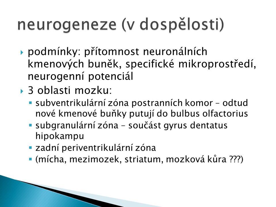  podmínky: přítomnost neuronálních kmenových buněk, specifické mikroprostředí, neurogenní potenciál  3 oblasti mozku:  subventrikulární zóna postranních komor – odtud nové kmenové buňky putují do bulbus olfactorius  subgranulární zóna – součást gyrus dentatus hipokampu  zadní periventrikulární zóna  (mícha, mezimozek, striatum, mozková kůra )