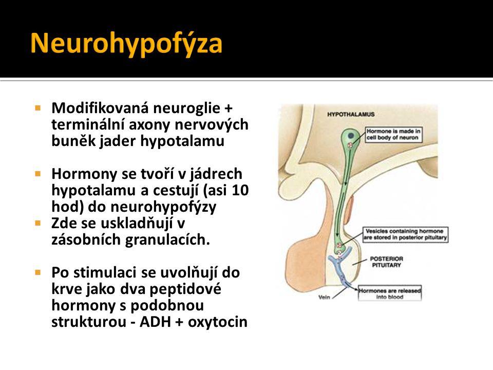  Modifikovaná neuroglie + terminální axony nervových buněk jader hypotalamu  Hormony se tvoří v jádrech hypotalamu a cestují (asi 10 hod) do neurohy