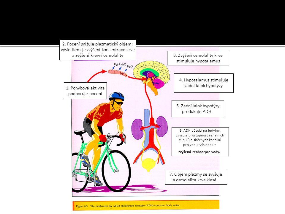1. Pohybová aktivita podporuje pocení 2. Pocení snižuje plazmatický objem; výsledkem je zvýšení koncentrace krve a zvýšení krevní osmolality 3. Zvýšen