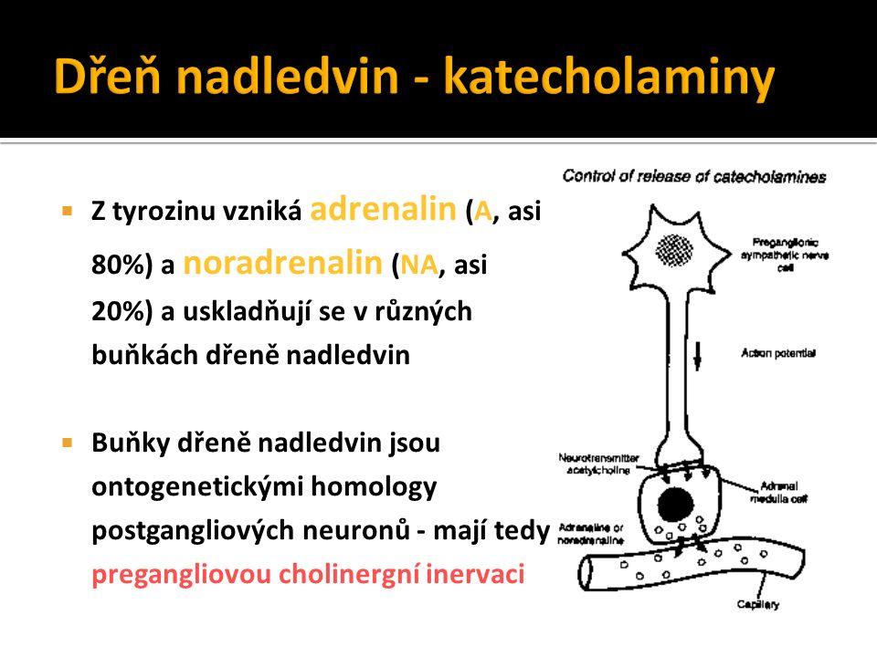  Z tyrozinu vzniká adrenalin (A, asi 80%) a noradrenalin (NA, asi 20%) a uskladňují se v různých buňkách dřeně nadledvin  Buňky dřeně nadledvin jsou ontogenetickými homology postgangliových neuronů - mají tedy pregangliovou cholinergní inervaci