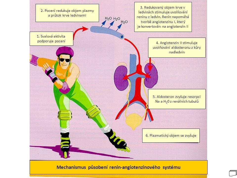 Mechanismus působení renin-angiotenzinového systému 6. Plazmatický objem se zvyšuje 5. Aldosteron zvyšuje resorpci Na a H 2 0 z renálních tubulů 4. An