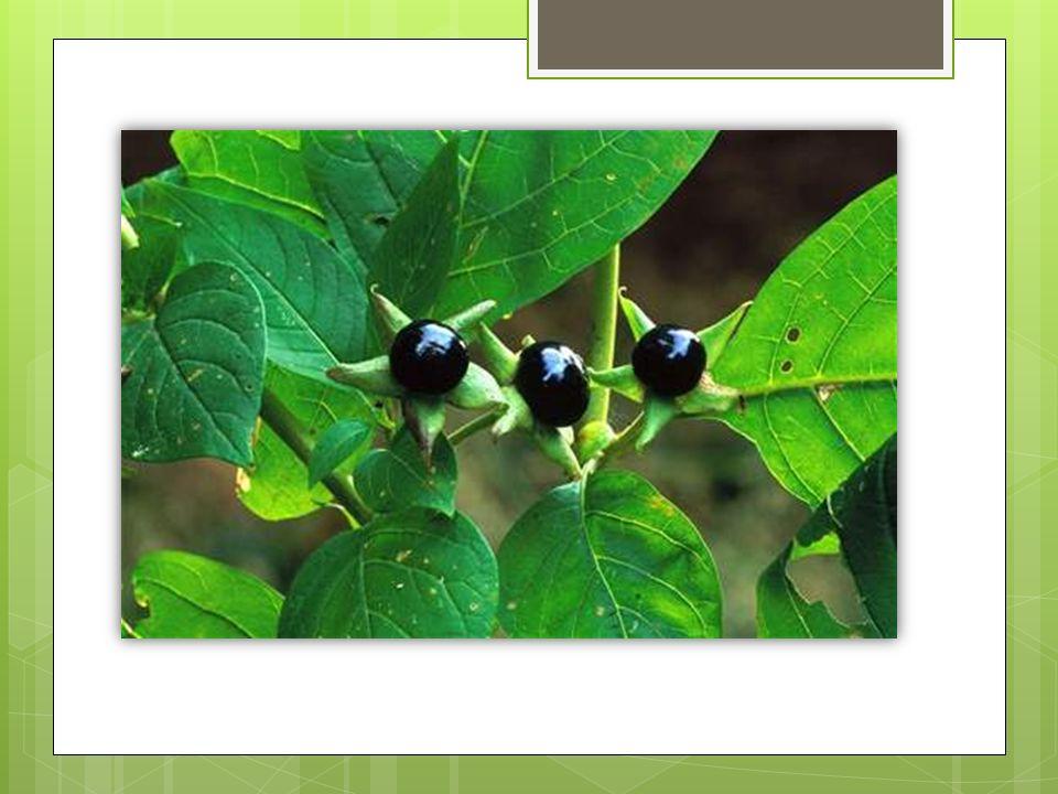 vzhled  Výška: 0,5-1,8 m  Tvar: rozvětvený  List: vejčitý, celokrajný, střídavý  Barva listu: světle zelená  Květy: vyrůstají v úžlabí listů, Kalich je zvonkovitý,třícentimetrová koruna je zvonkovitě trubkovitá, dole nazelenalá, nahoře hnědofialová.