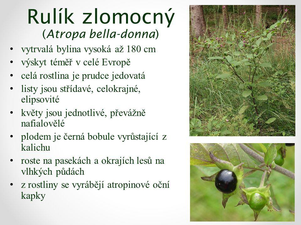 Rulík zlomocný (Atropa bella-donna) vytrvalá bylina vysoká až 180 cm výskyt téměř v celé Evropě celá rostlina je prudce jedovatá listy jsou střídavé, celokrajné, elipsovité květy jsou jednotlivé, převážně nafialovělé plodem je černá bobule vyrůstající z kalichu roste na pasekách a okrajích lesů na vlhkých půdách z rostliny se vyrábějí atropinové oční kapky