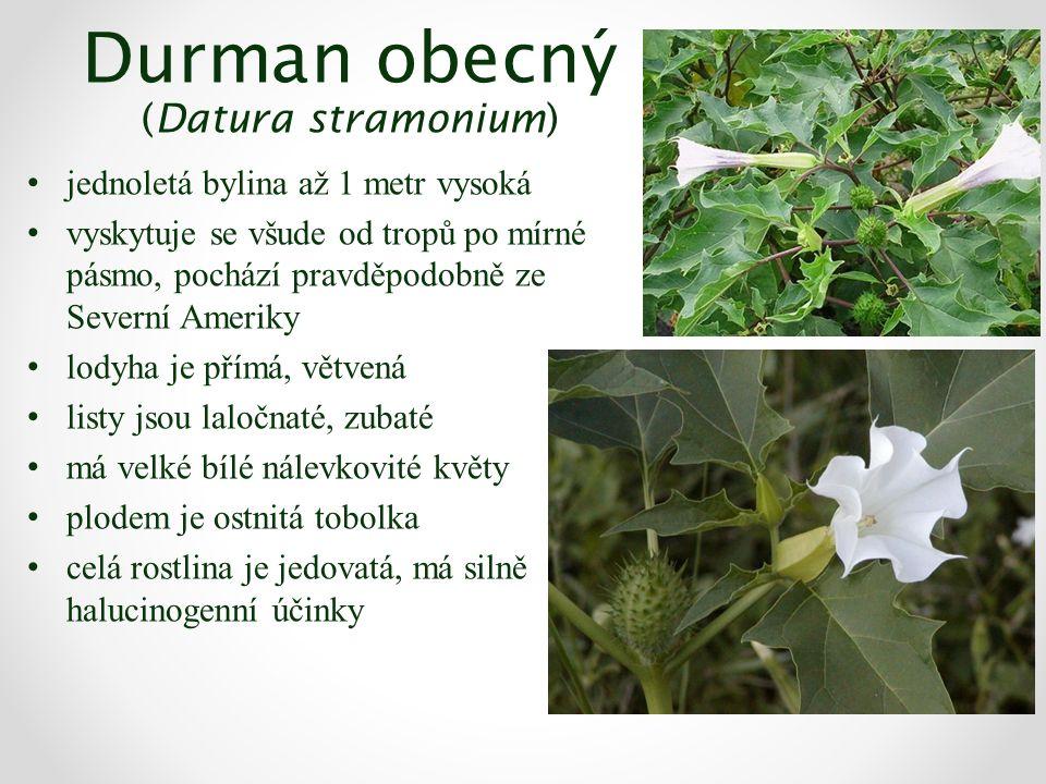 Durman obecný (Datura stramonium) jednoletá bylina až 1 metr vysoká vyskytuje se všude od tropů po mírné pásmo, pochází pravděpodobně ze Severní Ameriky lodyha je přímá, větvená listy jsou laločnaté, zubaté má velké bílé nálevkovité květy plodem je ostnitá tobolka celá rostlina je jedovatá, má silně halucinogenní účinky