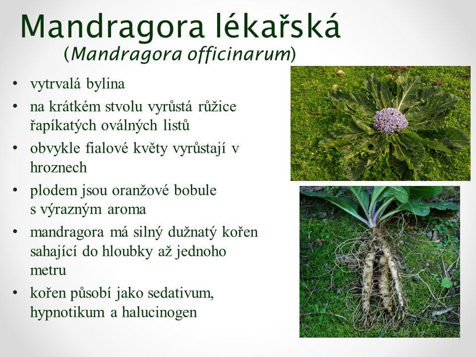 Mandragora léka ř ská (Mandragora officinarum) vytrvalá bylina na krátkém stvolu vyrůstá růžice řapíkatých oválných listů obvykle fialové květy vyrůstají v hroznech plodem jsou oranžové bobule s výrazným aroma mandragora má silný dužnatý kořen sahající do hloubky až jednoho metru kořen působí jako sedativum, hypnotikum a halucinogen