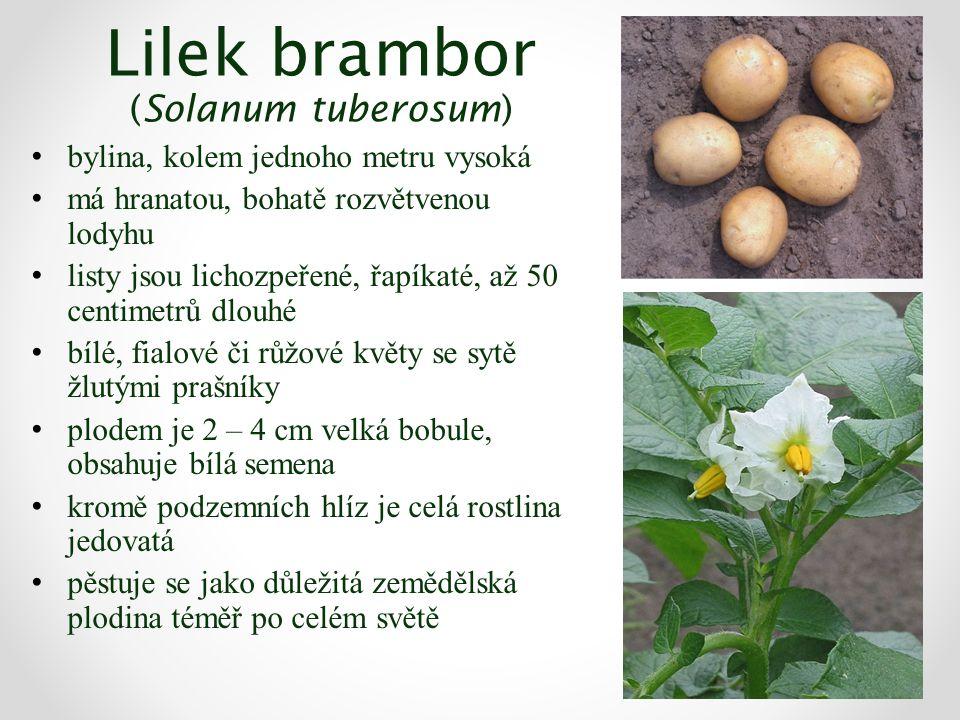 Lilek brambor (Solanum tuberosum) bylina, kolem jednoho metru vysoká má hranatou, bohatě rozvětvenou lodyhu listy jsou lichozpeřené, řapíkaté, až 50 c