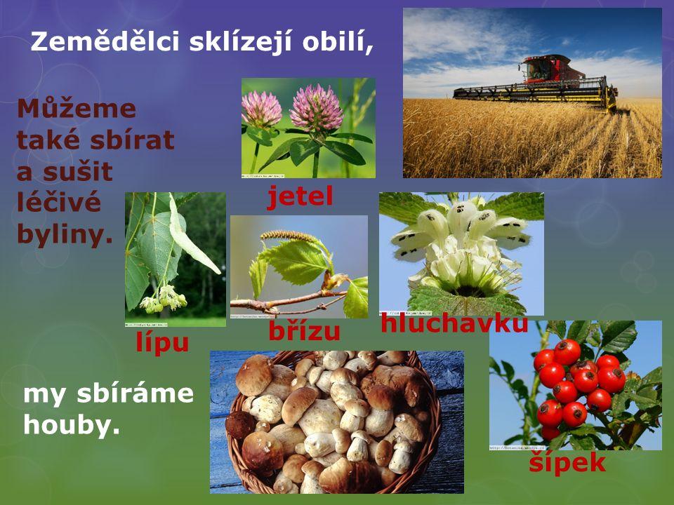 Zemědělci sklízejí obilí, my sbíráme houby. Můžeme také sbírat a sušit léčivé byliny. lípu břízu jetel hluchavku šípek