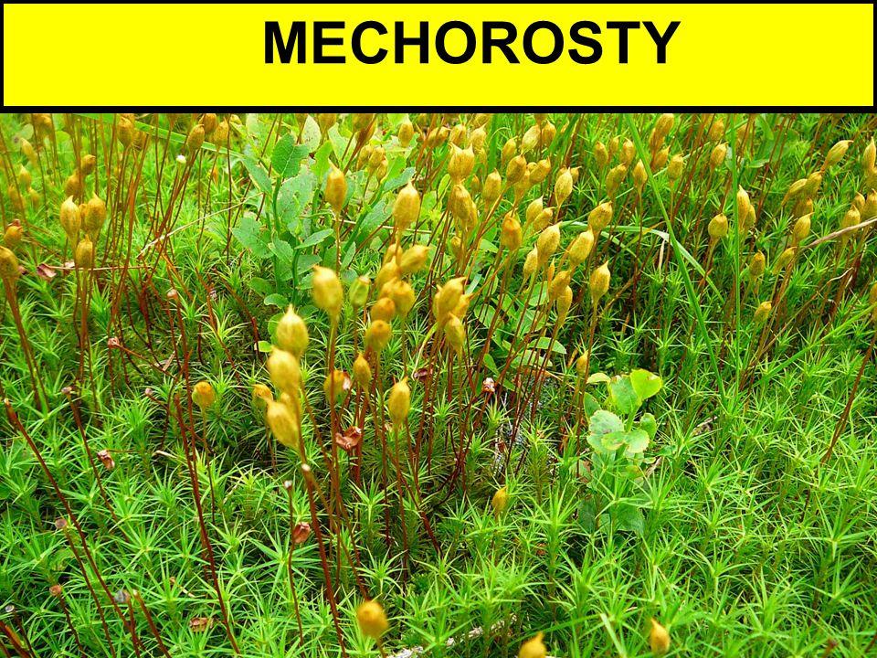 MECHOROSTY