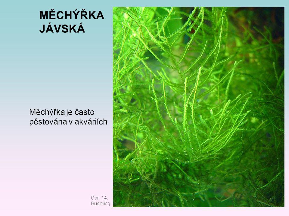 MĚCHÝŘKA JÁVSKÁ Obr. 14: Buchling Měchýřka je často pěstována v akváriích