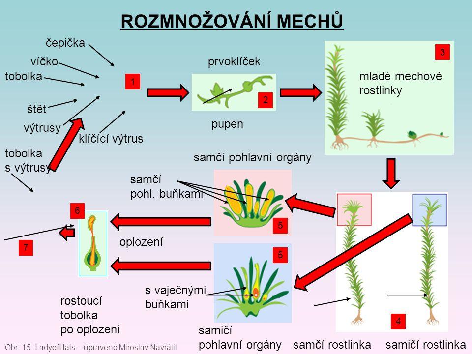 ROZMNOŽOVÁNÍ MECHŮ čepička víčko tobolka štět výtrusy klíčící výtrus prvoklíček pupen mladé mechové rostlinky samčí rostlinkasamičí rostlinka samčí po