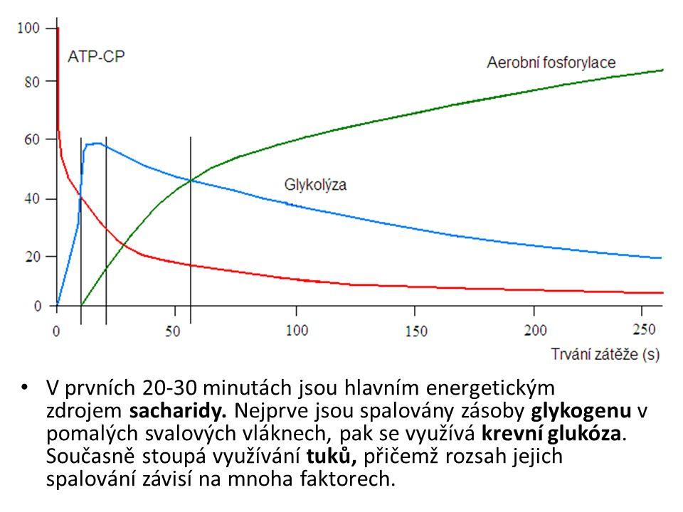 V prvních 20-30 minutách jsou hlavním energetickým zdrojem sacharidy.