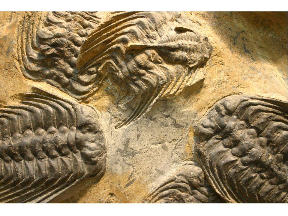 Nejznámější fosilie Barrandienu E R R O G D L T Usazenina Geologický útvar v okolí Prahy Geologické období Nejstarší stratotyp v ČR Vědní disciplína, zabývající se stavbou Země Výzkumník Zkamenělina Geologický standard k určování stáří
