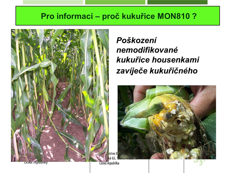 Pro informaci – proč kukuřice MON810 ? Poškození nemodifikované kukuřice housenkami zavíječe kukuřičného