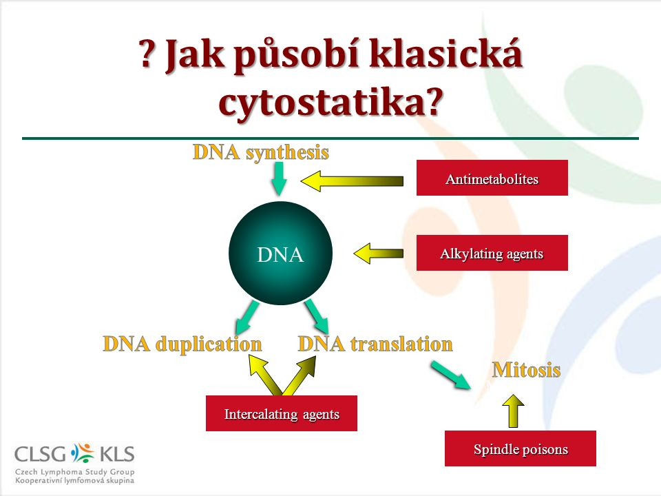 Antimetabolites DNA DNA transcriptionDNA duplication Mitosis Alkylating agents Spindle poisons Intercalating agents .