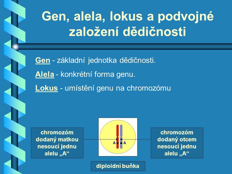 Gen, alela, lokus a podvojné založení dědičnosti Gen - základní jednotka dědičnosti.