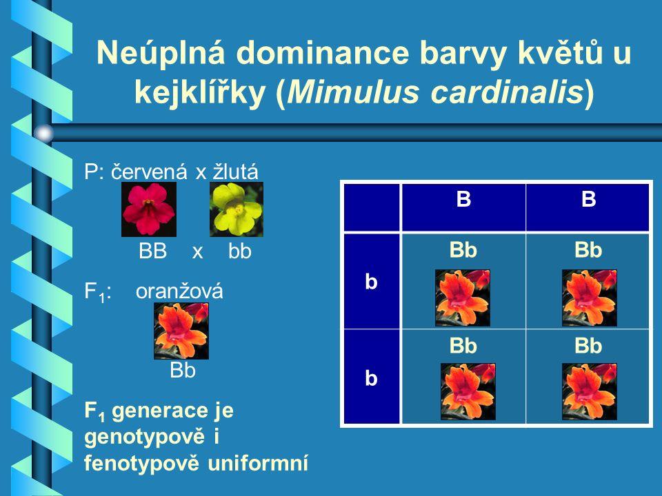 P: červená x žlutá BB x bb F 1 : oranžová Bb F 1 generace je genotypově i fenotypově uniformní Neúplná dominance barvy květů u kejklířky (Mimulus cardinalis) BB b Bb b
