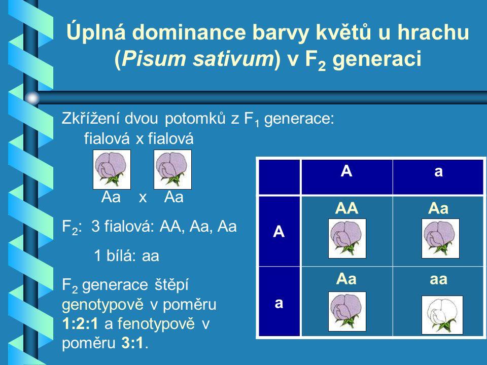 fialová x fialová Aa x Aa F 2 : 3 fialová: AA, Aa, Aa 1 bílá: aa F 2 generace štěpí genotypově v poměru 1:2:1 a fenotypově v poměru 3:1.