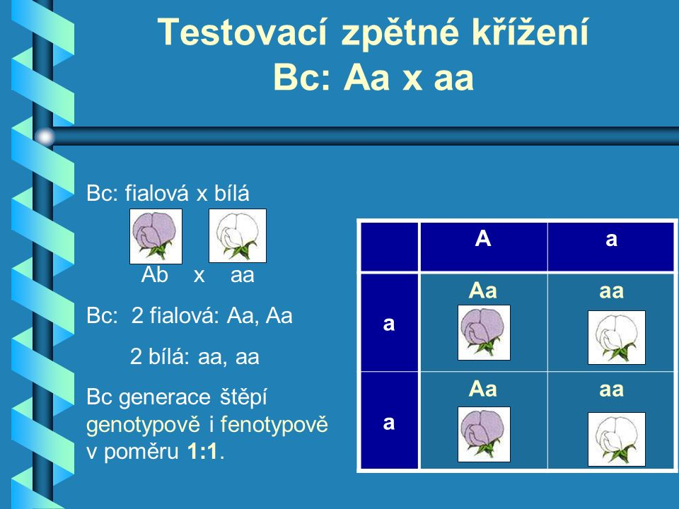 Bc: fialová x bílá Ab x aa Bc: 2 fialová: Aa, Aa 2 bílá: aa, aa Bc generace štěpí genotypově i fenotypově v poměru 1:1.