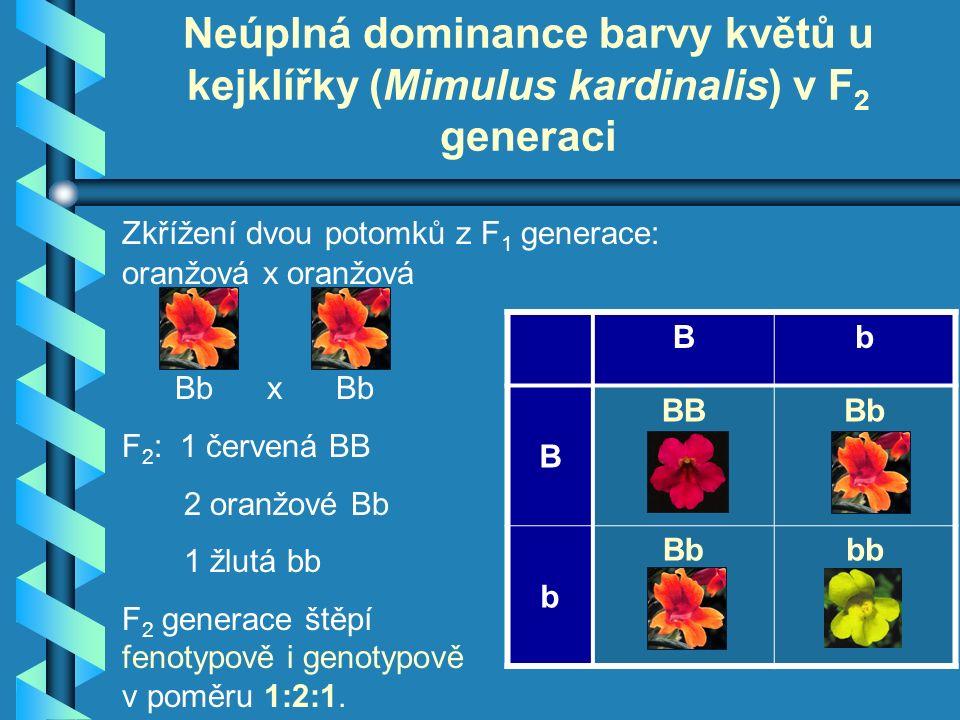 oranžová x oranžová Bb x Bb F 2 : 1 červená BB 2 oranžové Bb 1 žlutá bb F 2 generace štěpí fenotypově i genotypově v poměru 1:2:1.