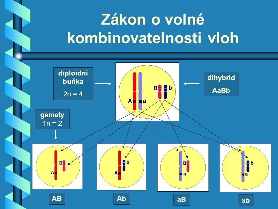 Zákon o volné kombinovatelnosti vloh diploidní buňka 2n = 4 gamety 1n = 2 ABAb aB ab dihybrid AaBb