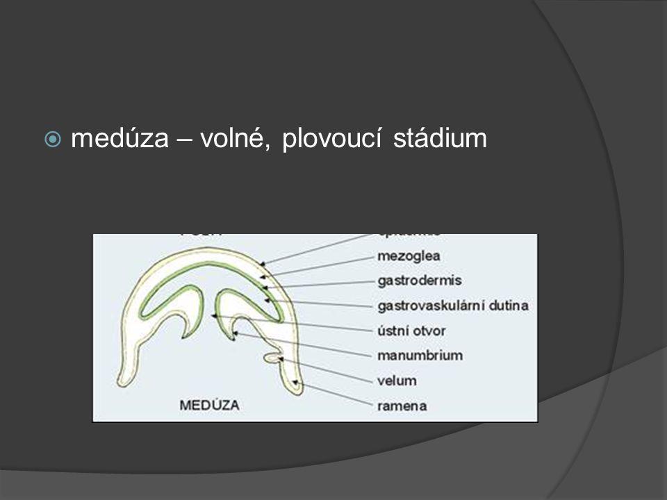  medúza – volné, plovoucí stádium