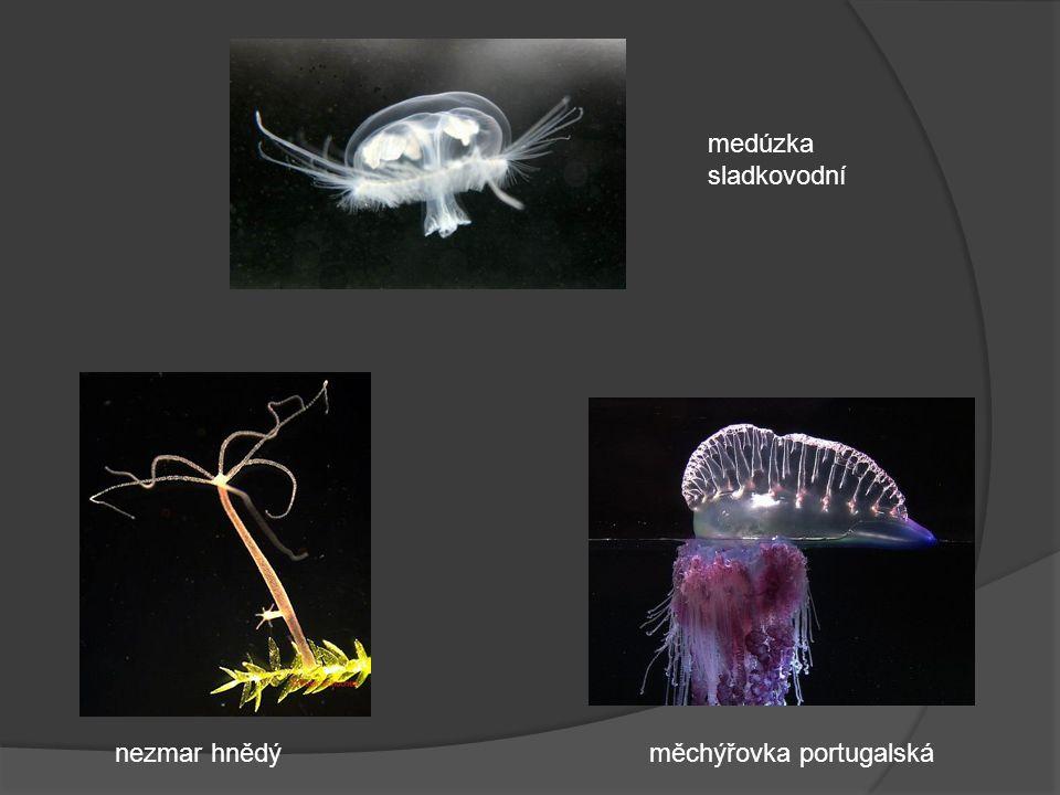 medúzka sladkovodní nezmar hnědýměchýřovka portugalská