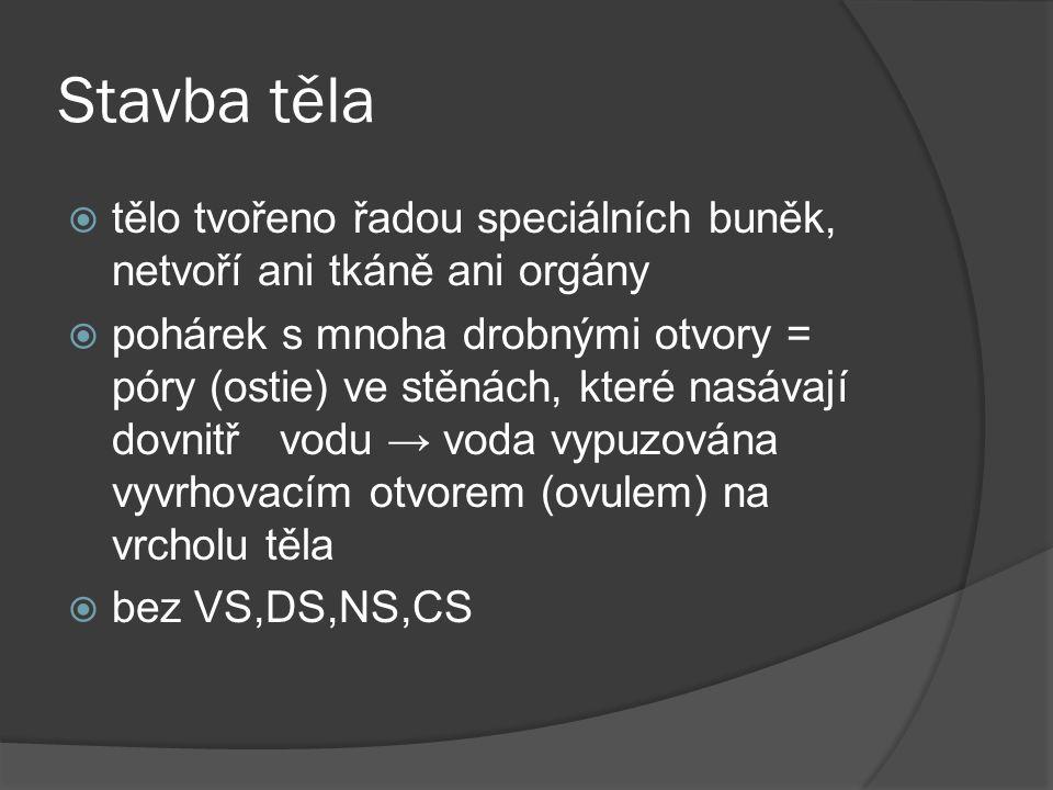 Stavba těla  tělo tvořeno řadou speciálních buněk, netvoří ani tkáně ani orgány  pohárek s mnoha drobnými otvory = póry (ostie) ve stěnách, které nasávají dovnitř vodu → voda vypuzována vyvrhovacím otvorem (ovulem) na vrcholu těla  bez VS,DS,NS,CS