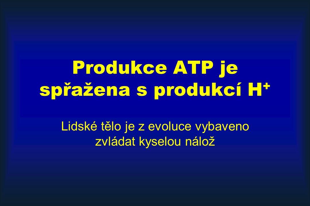 Produkce ATP je spřažena s produkcí H + Lidské tělo je z evoluce vybaveno zvládat kyselou nálož