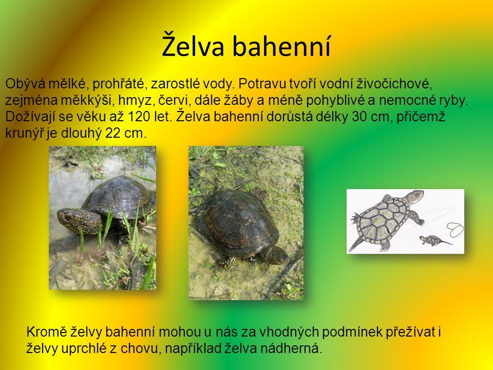 Želva bahenní Obývá mělké, prohřáté, zarostlé vody. Potravu tvoří vodní živočichové, zejména měkkýši, hmyz, červi, dále žáby a méně pohyblivé a nemocn