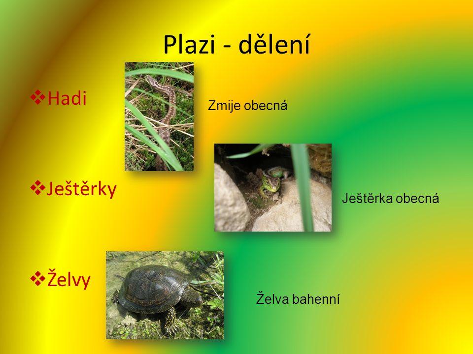 Plazi - dělení  Hadi  Ještěrky  Želvy Zmije obecná Želva bahenní Ještěrka obecná