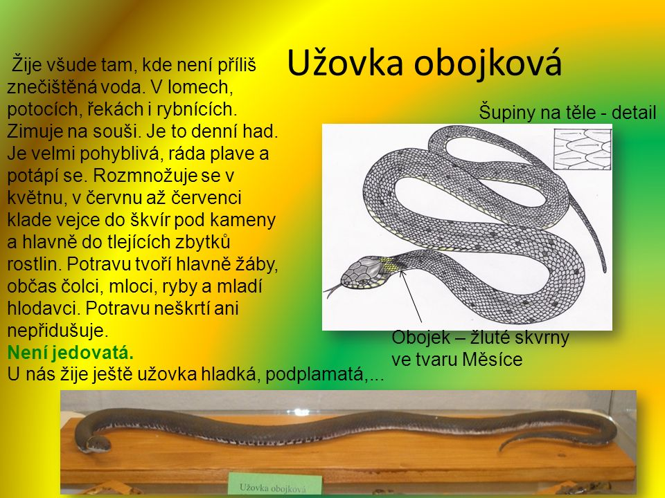 Užovka obojková Žije všude tam, kde není příliš znečištěná voda. V lomech, potocích, řekách i rybnících. Zimuje na souši. Je to denní had. Je velmi po