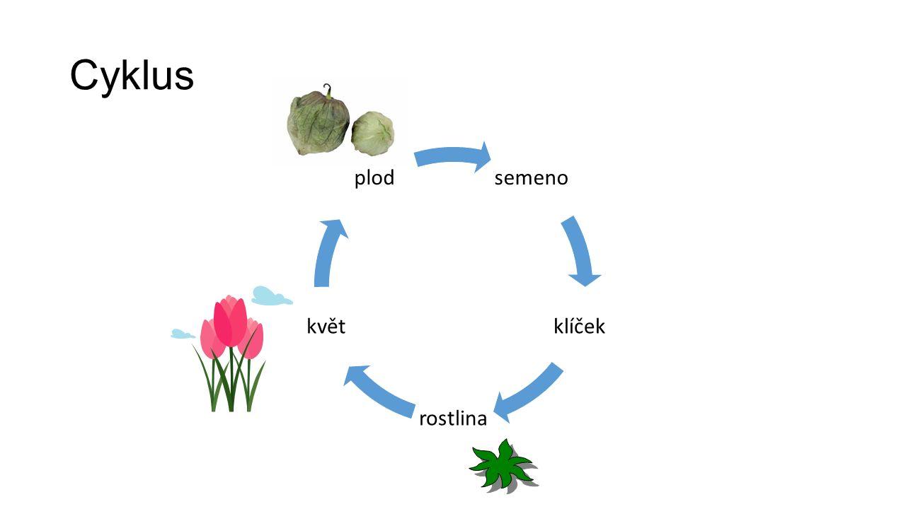 Cyklus semeno klíček rostlina květ plod