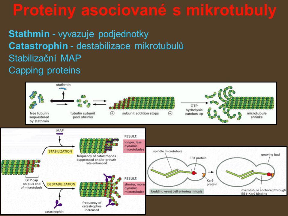 Proteiny asociované s mikrotubuly Stathmin - vyvazuje podjednotky Catastrophin - destabilizace mikrotubulů Stabilizační MAP Capping proteins