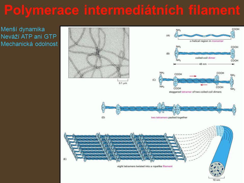Polymerace intermediátních filament Menší dynamika Neváží ATP ani GTP Mechanická odolnost