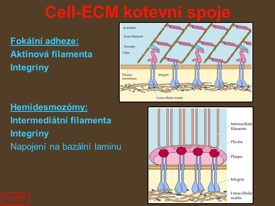 Cell-ECM kotevní spoje Fokální adheze: Aktinová filamenta Integriny Hemidesmozómy: Intermediátní filamenta Integriny Napojení na bazální laminu VIDEO