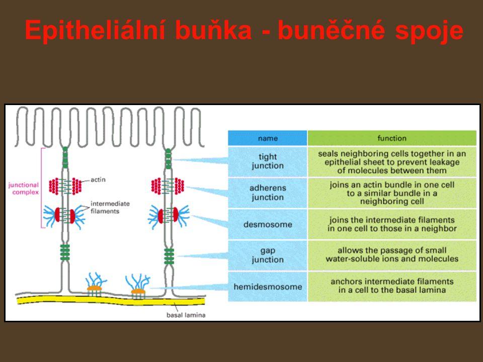 Epitheliální buňka - buněčné spoje