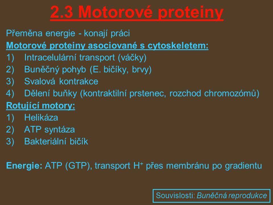 2.3 Motorové proteiny Přeměna energie - konají práci Motorové proteiny asociované s cytoskeletem: 1)Intracelulární transport (váčky) 2)Buněčný pohyb (E.