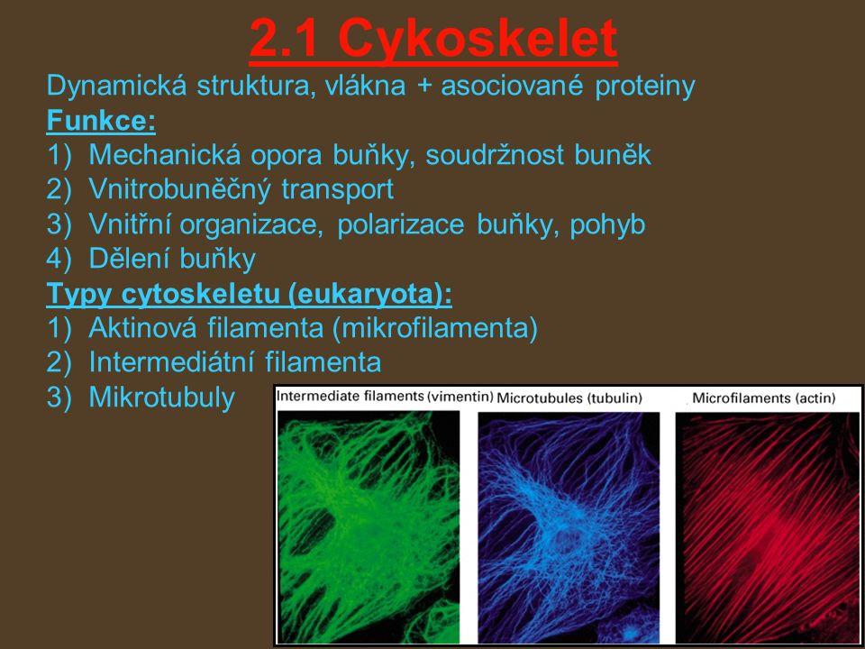 2.1 Cykoskelet Dynamická struktura, vlákna + asociované proteiny Funkce: 1)Mechanická opora buňky, soudržnost buněk 2)Vnitrobuněčný transport 3)Vnitřní organizace, polarizace buňky, pohyb 4)Dělení buňky Typy cytoskeletu (eukaryota): 1)Aktinová filamenta (mikrofilamenta) 2)Intermediátní filamenta 3)Mikrotubuly
