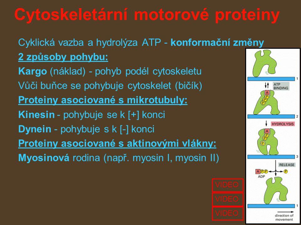 Cytoskeletární motorové proteiny Cyklická vazba a hydrolýza ATP - konformační změny 2 způsoby pohybu: Kargo (náklad) - pohyb podél cytoskeletu Vůči buňce se pohybuje cytoskelet (bičík) Proteiny asociované s mikrotubuly: Kinesin - pohybuje se k [+] konci Dynein - pohybuje s k [-] konci Proteiny asociované s aktinovými vlákny: Myosinová rodina (např.