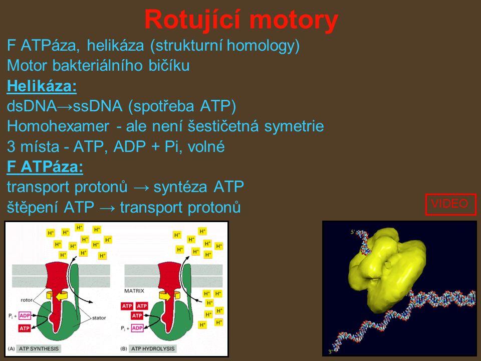 Rotující motory F ATPáza, helikáza (strukturní homology) Motor bakteriálního bičíku Helikáza: dsDNA→ssDNA (spotřeba ATP) Homohexamer - ale není šestičetná symetrie 3 místa - ATP, ADP + Pi, volné F ATPáza: transport protonů → syntéza ATP štěpení ATP → transport protonů VIDEO
