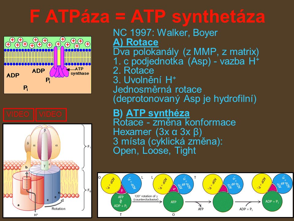 F ATPáza = ATP synthetáza NC 1997: Walker, Boyer A) Rotace Dva polokanály (z MMP, z matrix) 1.