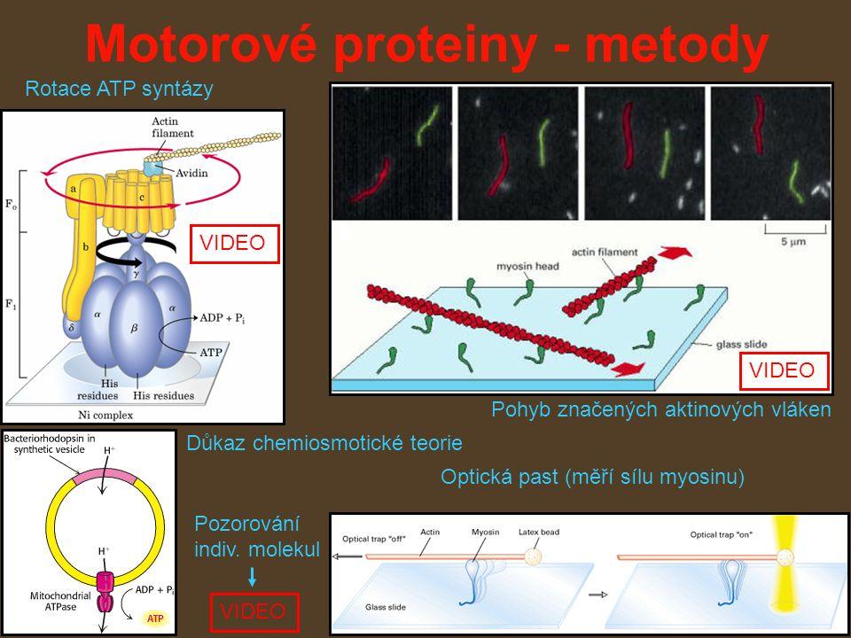 Motorové proteiny - metody Optická past (měří sílu myosinu) Pohyb značených aktinových vláken Důkaz chemiosmotické teorie Rotace ATP syntázy VIDEO Pozorování indiv.