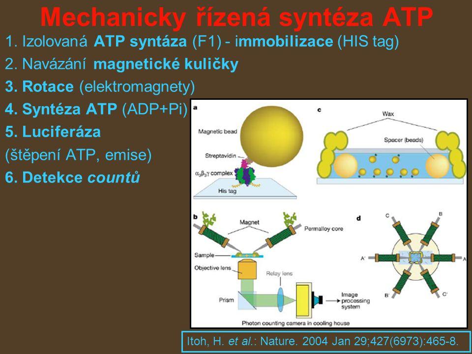 Mechanicky řízená syntéza ATP 1. Izolovaná ATP syntáza (F1) - immobilizace (HIS tag) 2.