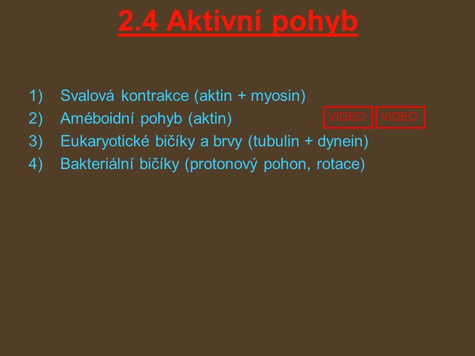 2.4 Aktivní pohyb 1)Svalová kontrakce (aktin + myosin) 2)Améboidní pohyb (aktin) 3)Eukaryotické bičíky a brvy (tubulin + dynein) 4)Bakteriální bičíky (protonový pohon, rotace) VIDEO
