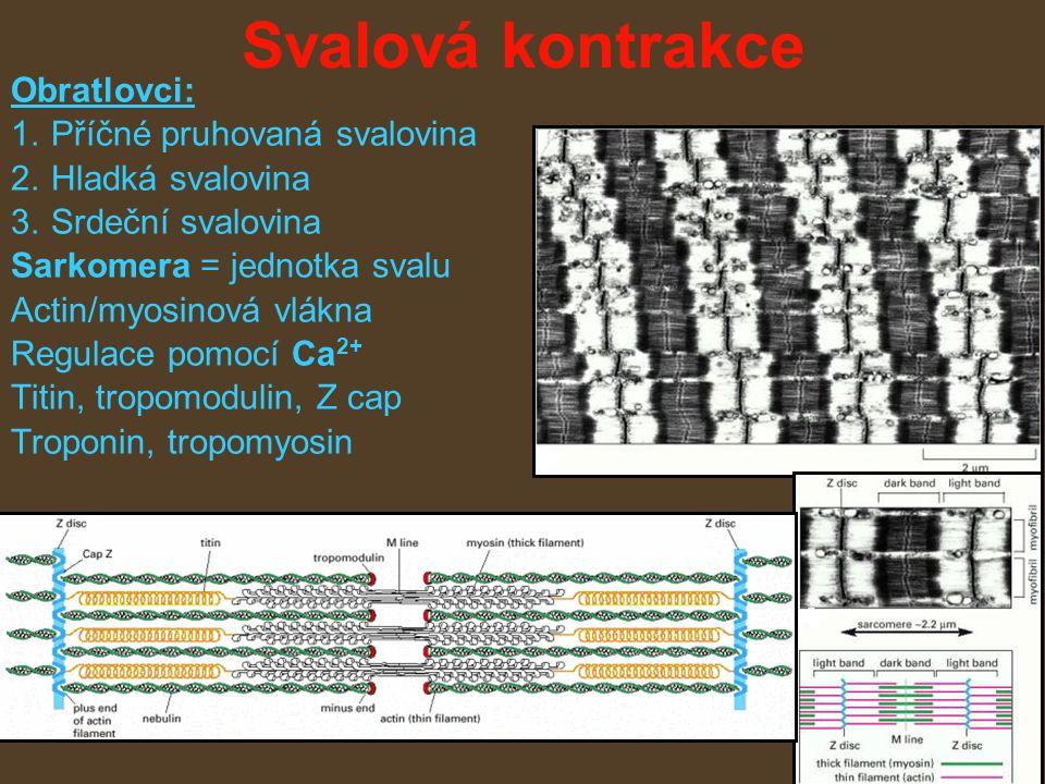 Svalová kontrakce Obratlovci: 1.Příčné pruhovaná svalovina 2.Hladká svalovina 3.Srdeční svalovina Sarkomera = jednotka svalu Actin/myosinová vlákna Regulace pomocí Ca 2+ Titin, tropomodulin, Z cap Troponin, tropomyosin