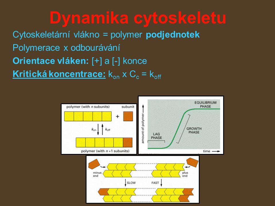 Dynamika cytoskeletu Cytoskeletární vlákno = polymer podjednotek Polymerace x odbourávání Orientace vláken: [+] a [-] konce Kritická koncentrace: k on x C c = k off