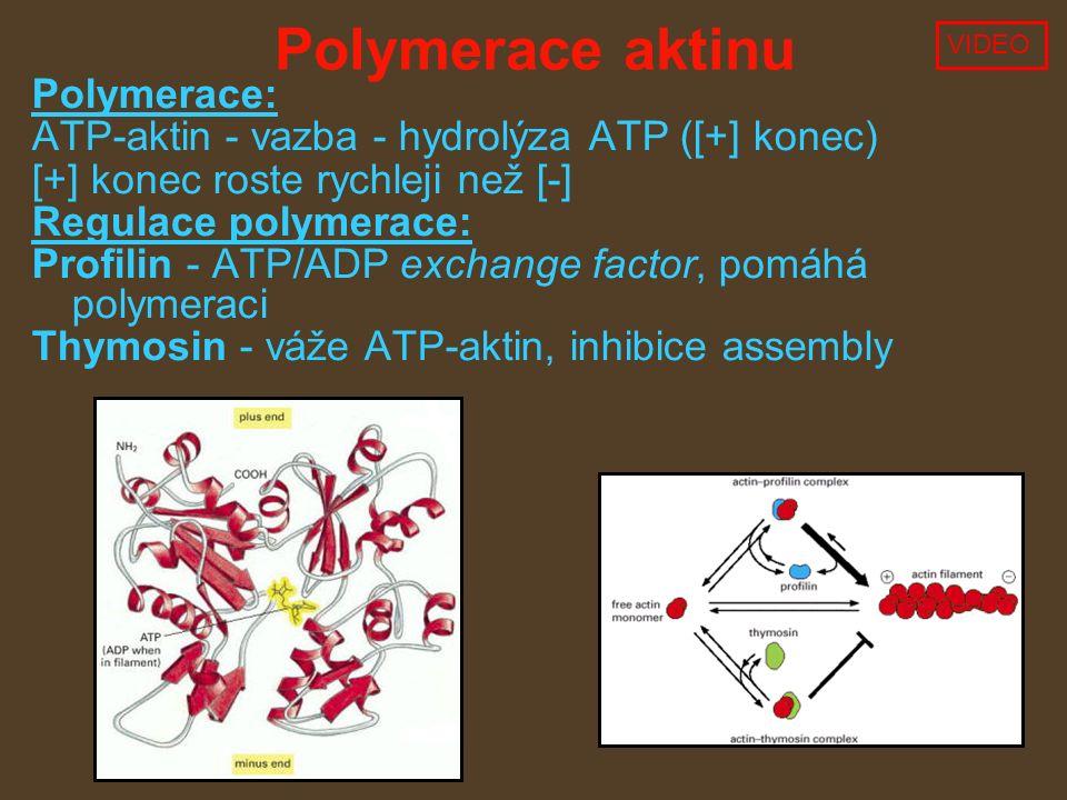 Polymerace aktinu Polymerace: ATP-aktin - vazba - hydrolýza ATP ([+] konec) [+] konec roste rychleji než [-] Regulace polymerace: Profilin - ATP/ADP exchange factor, pomáhá polymeraci Thymosin - váže ATP-aktin, inhibice assembly VIDEO