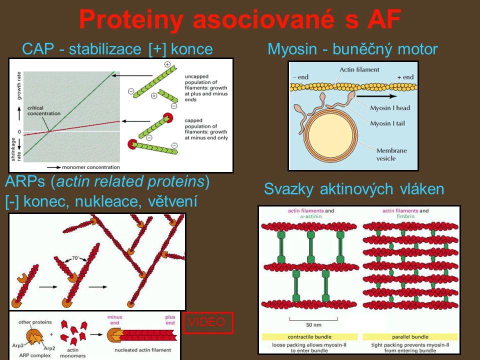 Proteiny asociované s AF CAP - stabilizace [+] konce ARPs (actin related proteins) [-] konec, nukleace, větvení Svazky aktinových vláken Myosin - buněčný motor VIDEO