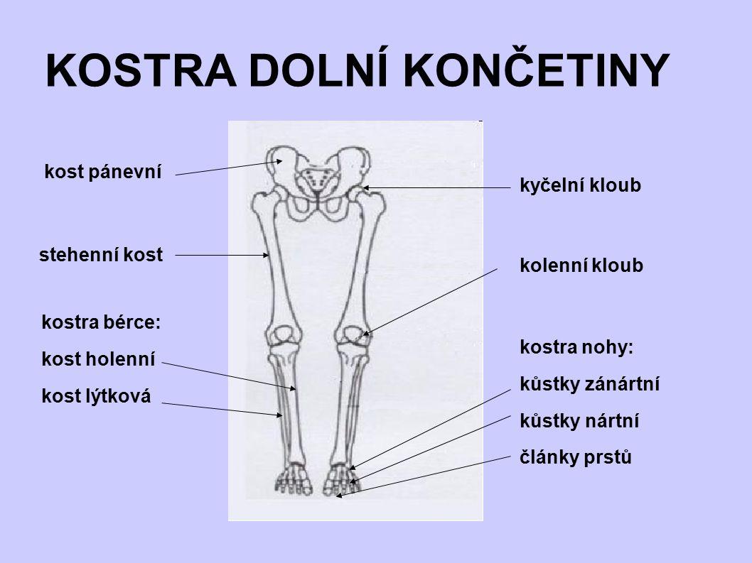 KOSTRA DOLNÍ KONČETINY kost pánevní kyčelní kloub stehenní kost kolenní kloub kostra bérce: kost holenní kost lýtková kostra nohy: kůstky zánártní kůs