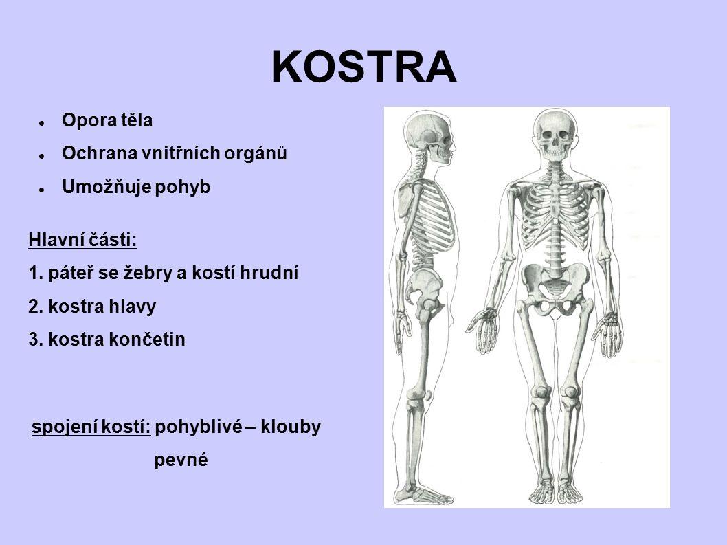 KOSTRA Opora těla Ochrana vnitřních orgánů Umožňuje pohyb Hlavní části: 1. páteř se žebry a kostí hrudní 2. kostra hlavy 3. kostra končetin spojení ko
